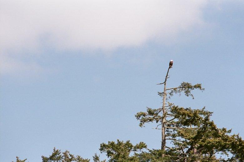 eagle on Lopez Island