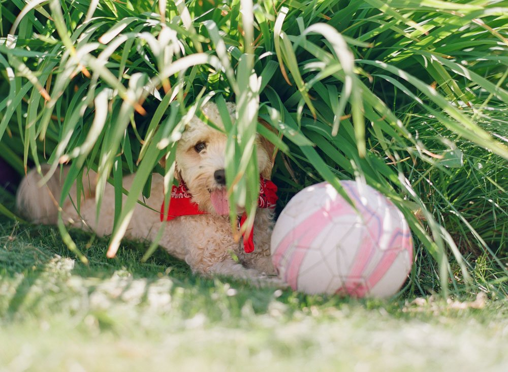 family photographers seattle : dog hiding in bushes